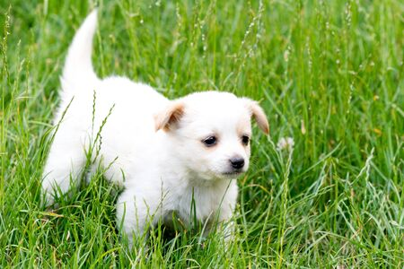Brown and white puppy in the grass photo