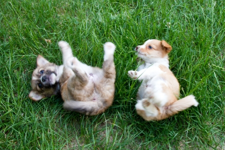 Two brown and white puppies in the grass playing