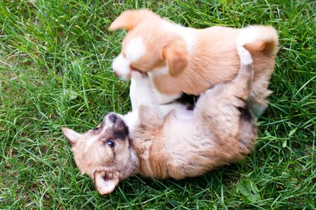 Two Brown and white puppies in the grass playing photo