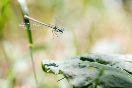 Common Bluetail Damselfly (dragonfly, Ischnura heterosticta) photo