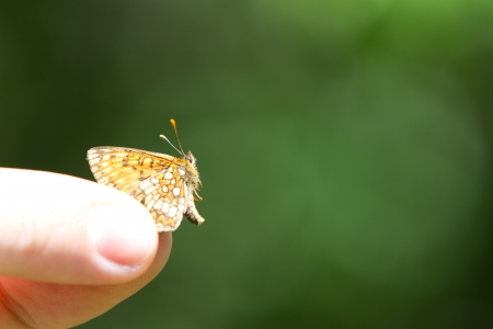 Hand holding orange, brown and golden High Brown Fritillary  Fabriciana adippe  butterfly, also called brush-footed butterflies or four-footed butterflies in a green field photo