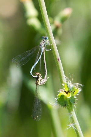 Common Bluetail Damselflies Mating  dragonfly, Ischnura heterosticta  photo