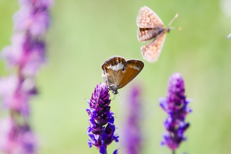 Close-up of an orange and grey Coenonympha glycerin Butterfly on a green plant Stock Photo - 14371259