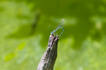 Common Bluetail Damselfly  dragonfly, Ischnura heterosticta  photo