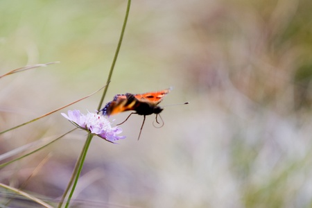 Orange, brown and golden butterfly flying from a purpe plant in the field photo