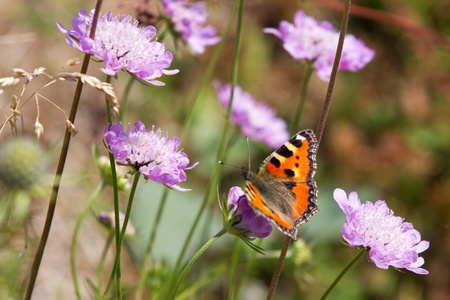 Orange, brown and golden butterfly on a purpe plant in the field photo