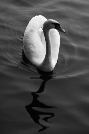 B W Swan Swimming with reflection photo
