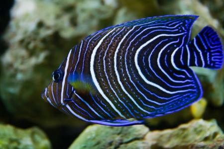 pez pecera: Pomacanthus navarchus azul ceñida ángel peces de acuario marino Foto de archivo