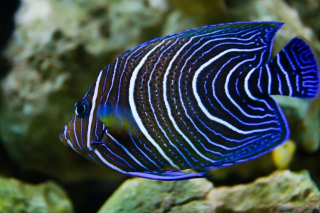 Pomacanthus navarchus blue girdled angel sea aquarium fish photo