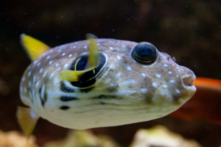 White-Spotted puffer, Arothron Hispidus, aquarium fish Stock Photo - 15477576