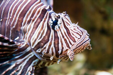 Red lionfish (Pterois volitans) aquarium fish, a venomous coral reef fish photo