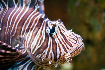 Red lionfish (Pterois volitans) aquarium fish, a venomous coral reef fish Stock Photo - 15479215