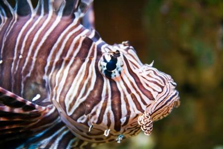 Red lionfish (Pterois volitans) aquarium fish, a venomous coral reef fish Stock Photo - 15479215