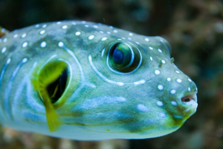 White-Spotted puffer, Arothron Hispidus, aquarium fish photo