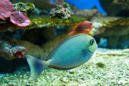 Dotted blue and yellow aquarium fish Stock Photo - 15479212