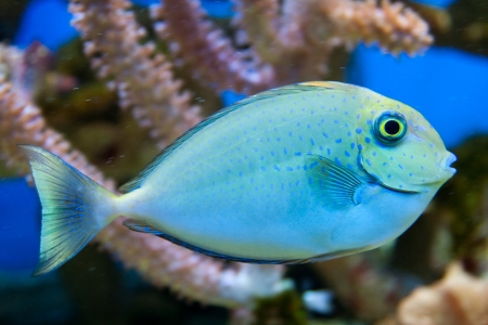 Dotted blue and yellow aquarium fish Stock Photo - 15477603