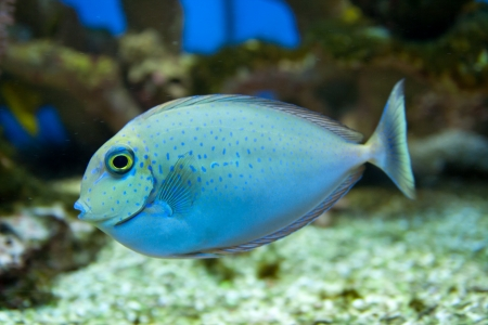 Dotted blue and yellow aquarium fish photo