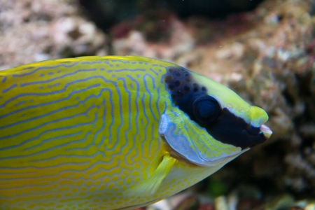Yellow, grey and black stripped aquarium fish Stock Photo - 15479217