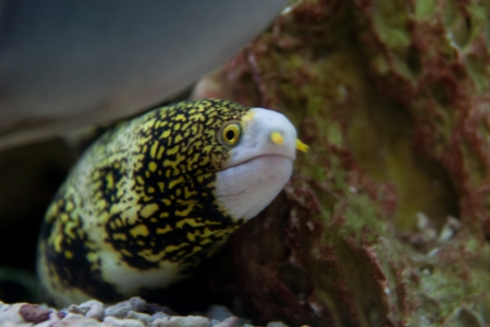 Snowflake Moray Eel  Echidna nebulosa  aquarium fish Stock Photo - 15477579