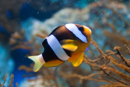 Nemo (clownfish, anemonefish, Amphiprioninae) over blue background Stock Photo - 15465002