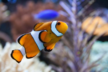 Nemo (clownfish, anemonefish, Amphiprioninae) over blue background Stock Photo