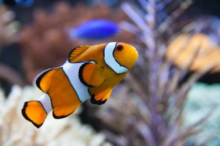 Nemo (clownfish, anemonefish, Amphiprioninae) over blue background Stock Photo