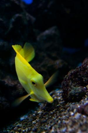 yellow tang: Yellow tang (Zebrasoma flavescens) aquarium fish Stock Photo