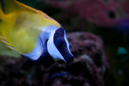 Foxface Rabbitfish (Siganus vulpinus) aquarium fish Stock Photo - 15477572