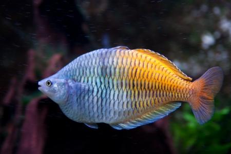 Blue and orange aquarium fish Stock Photo - 15477601