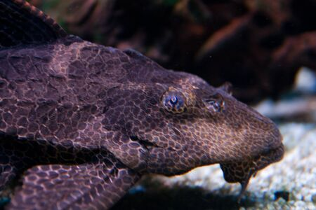 Pterygoplichthys pardalis, the tropical fish known as a Plecostomus belonging to the Armored Catfish family (Loricariidae) photo