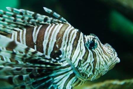 Red lionfish (Pterois volitans) aquarium fish, a venomous coral reef fish Stock Photo - 15465011