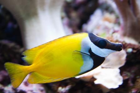 Foxface Rabbitfish  Siganus vulpinus  aquarium fish Standard-Bild