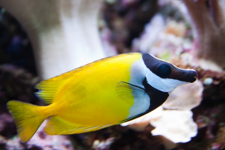fish tank: Foxface Rabbitfish  Siganus vulpinus  aquarium fish Stock Photo