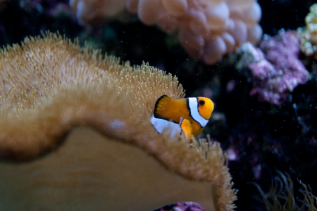 Nemo  clownfish, anemonefish, Amphiprioninae  aquarium fish photo