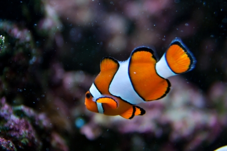 colorful fishes: Nemo  clownfish, anemonefish, Amphiprioninae  aquarium fish