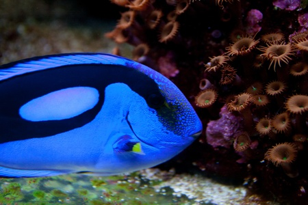 hepatus: Blue, black and yellow fish-surgeon or blue regal tang  paracanthurus hepatus aquarium fish Stock Photo