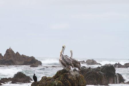endothermic: Pelicans on rocks on ocean shore Punta de Choros, Chile