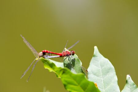 sympetrum: The red-veined darter or nomad (Sympetrum fonscolombii), dragonfly of the genus Sympetrum