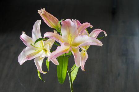 ilium: Pink lily ilium over black background Stock Photo