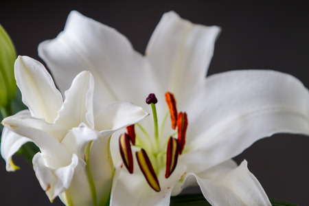 ilium: White lily ilium over black background Stock Photo