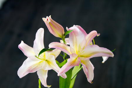 ilium: Pink lily ilium over black background Stock Photo