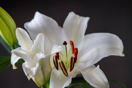 ilium: White lily ilium over black background Stock Photo