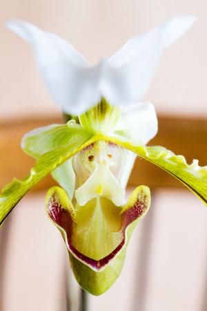 paphiopedilum: Close-up of white, yellow and purple Lady�s Slipper (Paphiopedilum) orchid