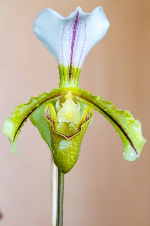 lady's slipper: Close-up of white, yellow and purple Lady�s Slipper (Paphiopedilum) orchid