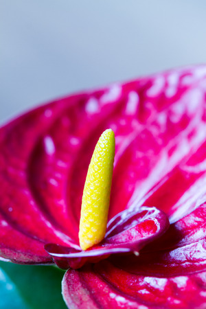 narrow depth of field: Narrow depth of field of anthurim, focused on the protruding tip of the flower Stock Photo