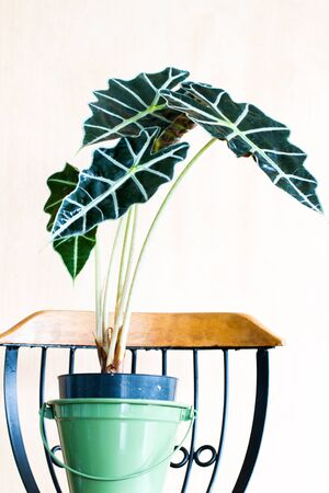 polly: Close-up of alocasia amazonica elephant ear Tropical plant in a pot