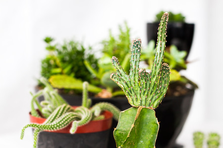 eclectic: Senecio cylindricus, Narrow Leaf Chalksticks eclectic houseplant from the succulent plants family (succulents or fat plants) Stock Photo