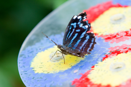 Blue and black butterfly close-up over colorful background