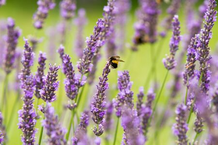 Rows of scented flowers with honey bees collecting  pollen and nectar in lavender field