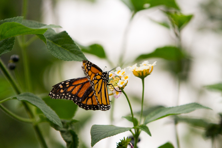 distinct: Monarchs butterfly with distinct orange, black, and white wings on pink and yellow flower